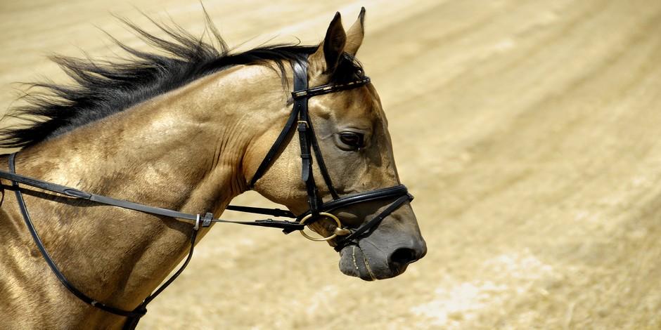 L'Akhal-Teke ou cheval turkmène