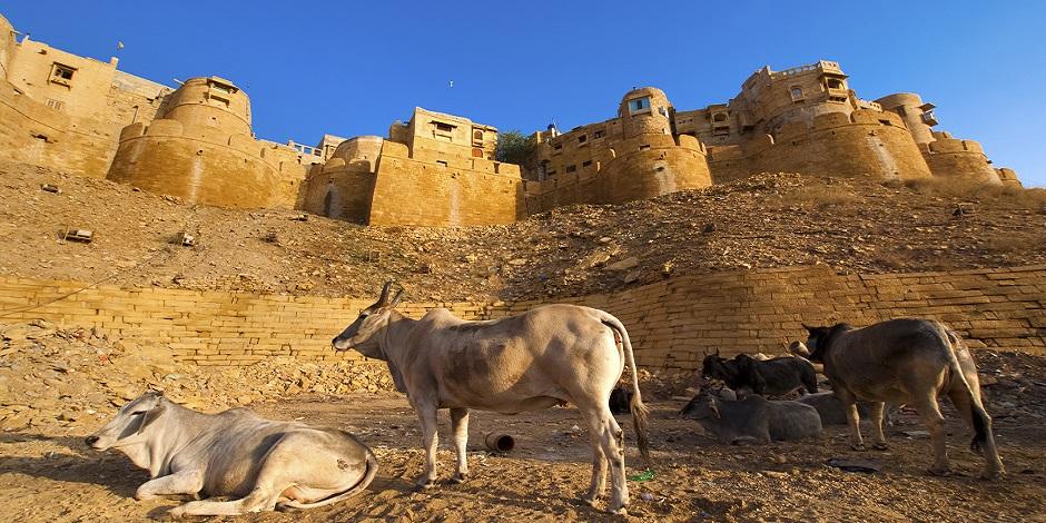 Vaches auprès du Fort